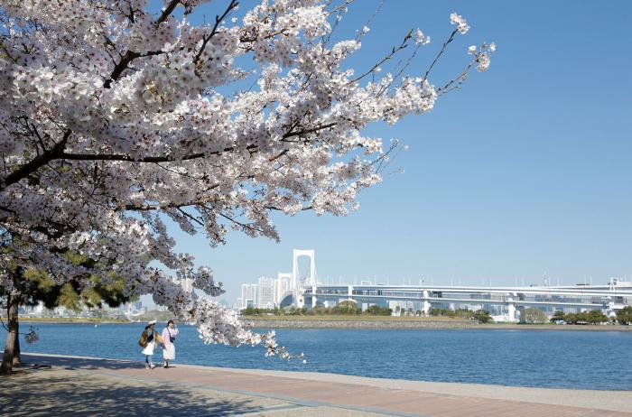 Cherry blossom flowers bloom in Odaiba Kaihin Park